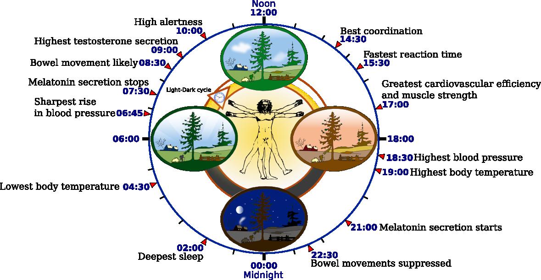 2012-09-22-Biological_clock_human.PNG
