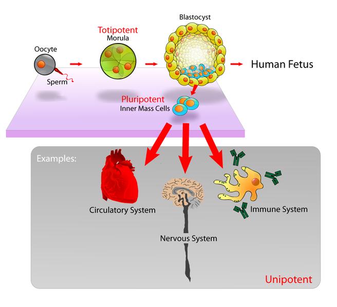 2012-10-08-656pxStem_cells_diagram.jpeg
