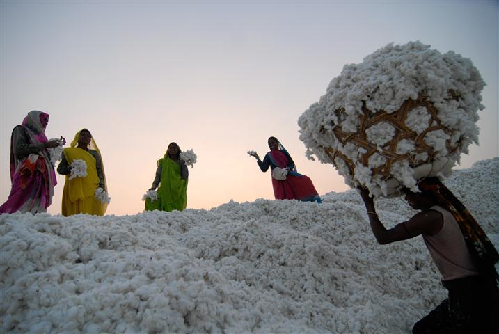 Organic Cotton Harvest