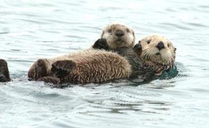 2012-10-15-otter_pup_1USGS.jpg