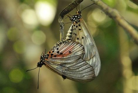 2012-10-16-matingbutterflies.jpg