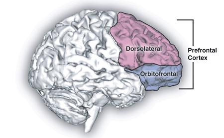 2012-11-04-Prefrontal_cortex.png