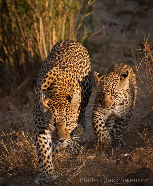 2012-11-06-leopard_cub_copyright_Jack_Swenson.jpg