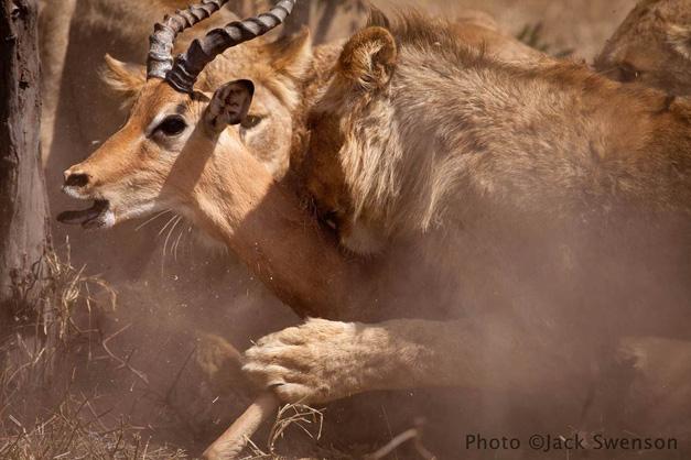 2012-11-06-lion_impala_copyright_Jack_Swenson.jpg