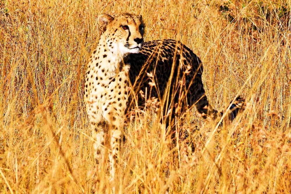 2012-11-14-Cheetah.jpg