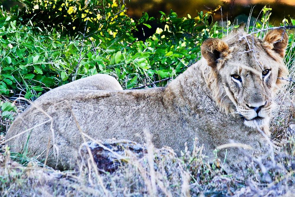 2012-11-14-Lion.jpg