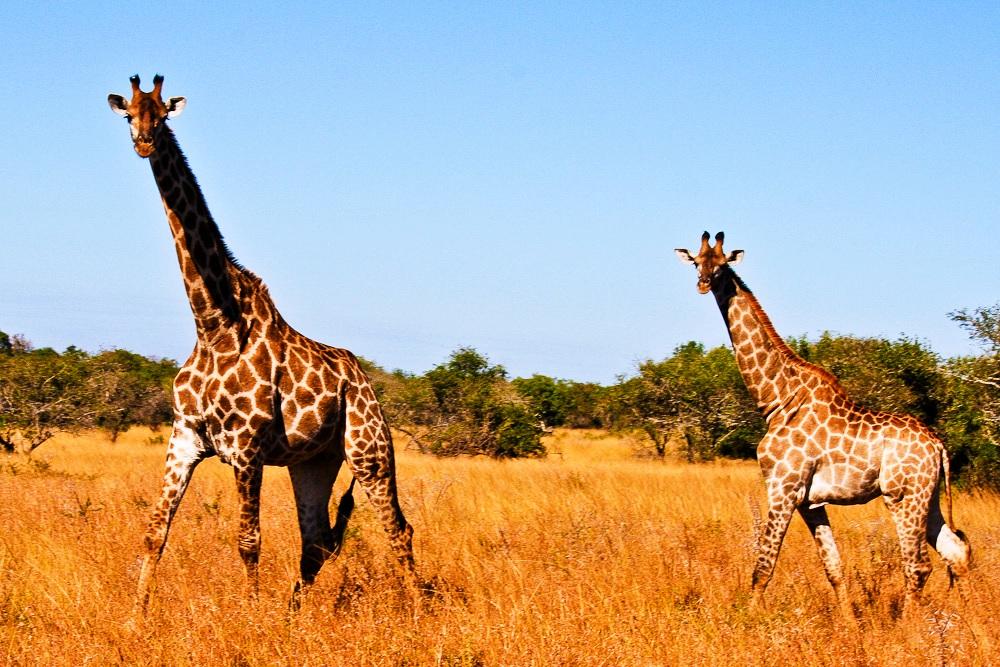 2012-11-14-TwoGiraffes.jpg