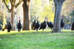 2012-11-19-wildturkeys300x198.jpg