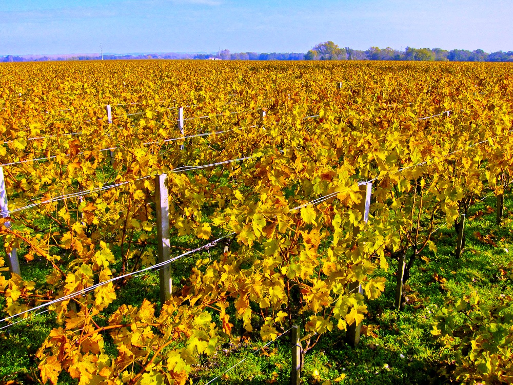 2012-11-26-VineyardMargaux.jpg