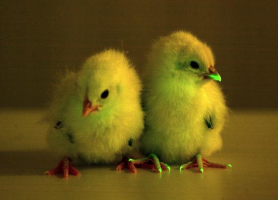 2012-11-27-chicks.jpg