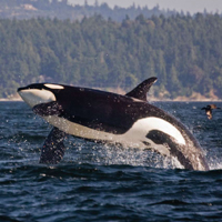 Miyoko Sakashita: Orcas Dont Deserve to Lose Their Endangered Status