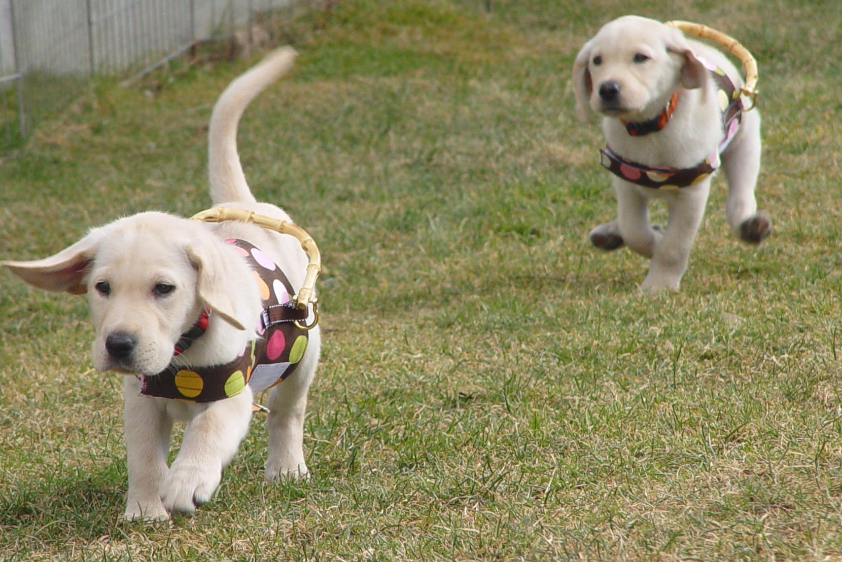 2012-12-14-Pupsrunninginharnesses.jpg