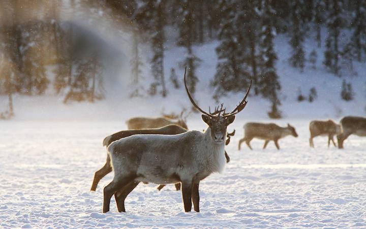 2012-12-20-Caribou.jpg