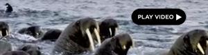 2012-12-27-walruses.jpg