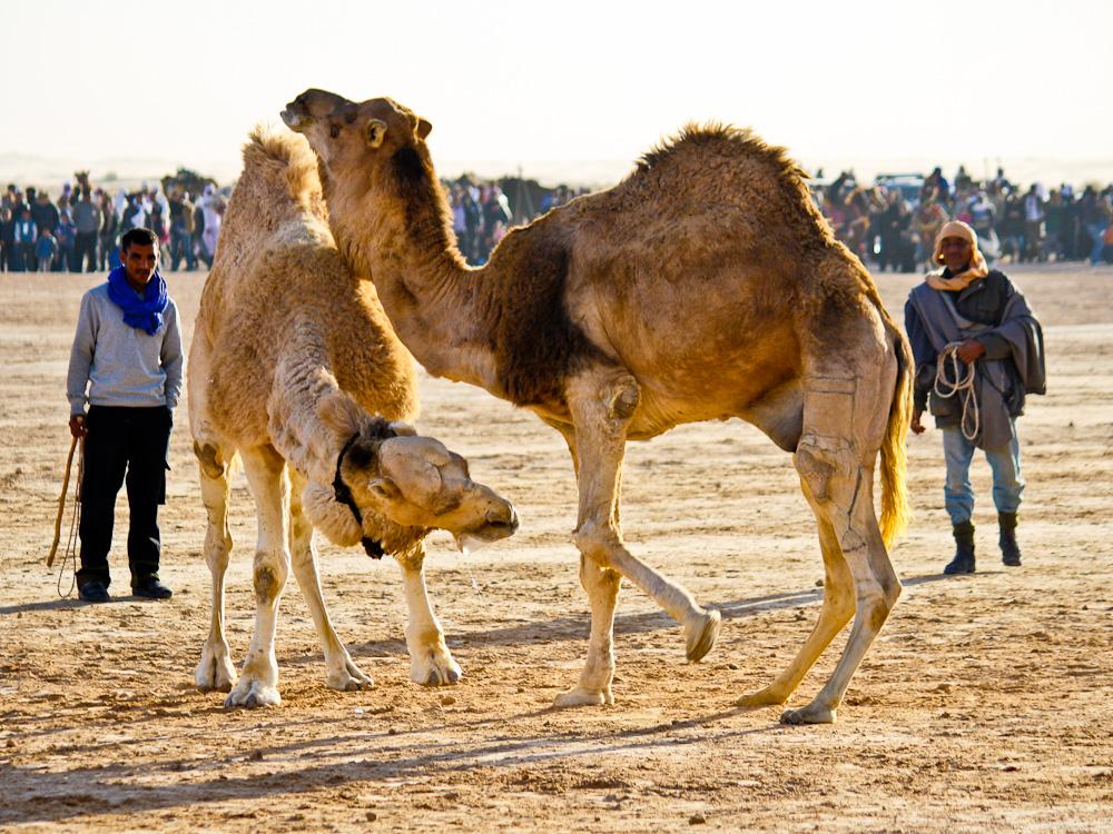 2013-01-02-CamelWrestling.jpg