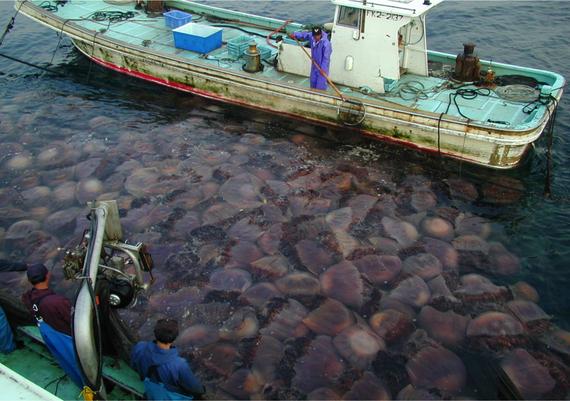 2013-01-08-GiantJellyfishBloom_Japan_Uye.jpg
