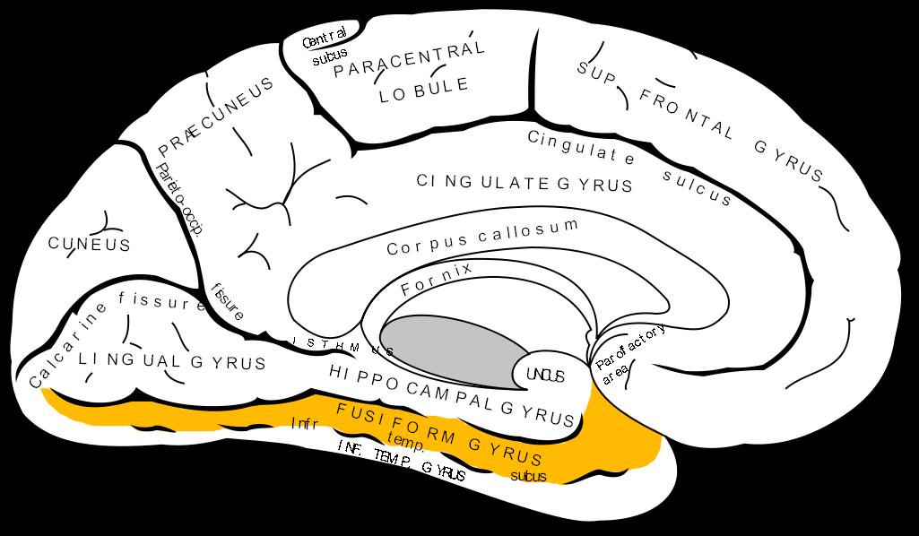 2013-01-10-Gray727_fusiform_gyrus.png