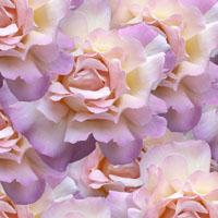 2013-01-10-roses_sml_full.jpg