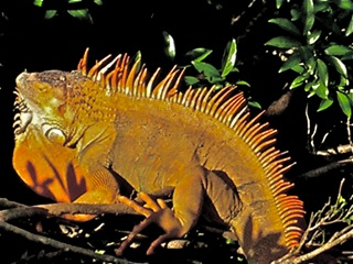 2013-01-13-iguana.jpg