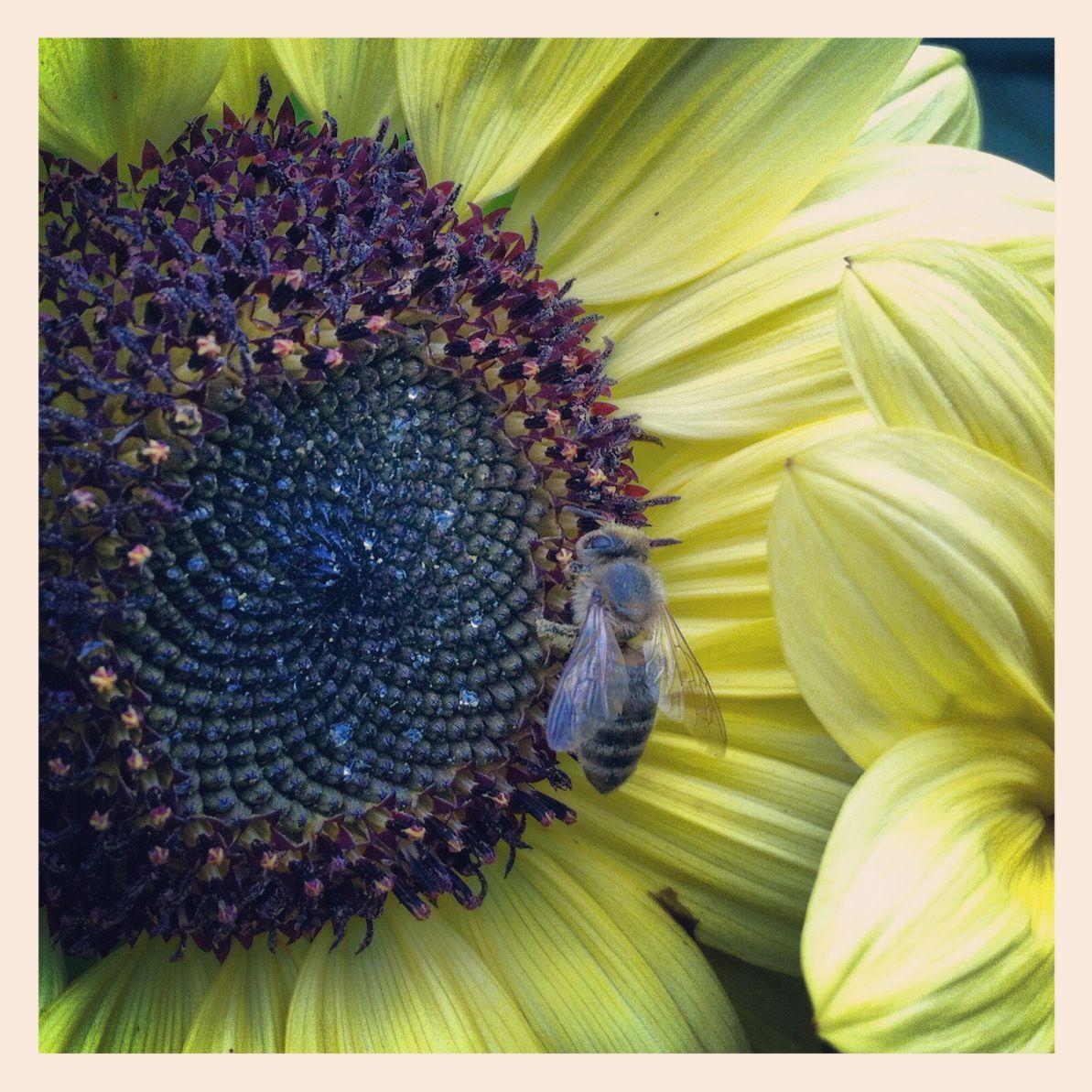 2013-01-18-honeybeeonsunflower.jpg