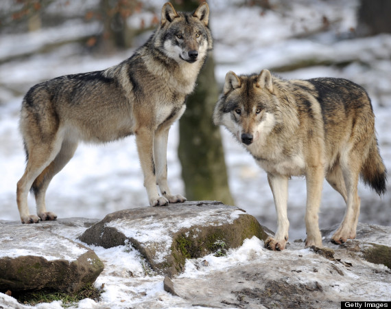 Chris Genovali: How Would Wolves Manage The Human Population?