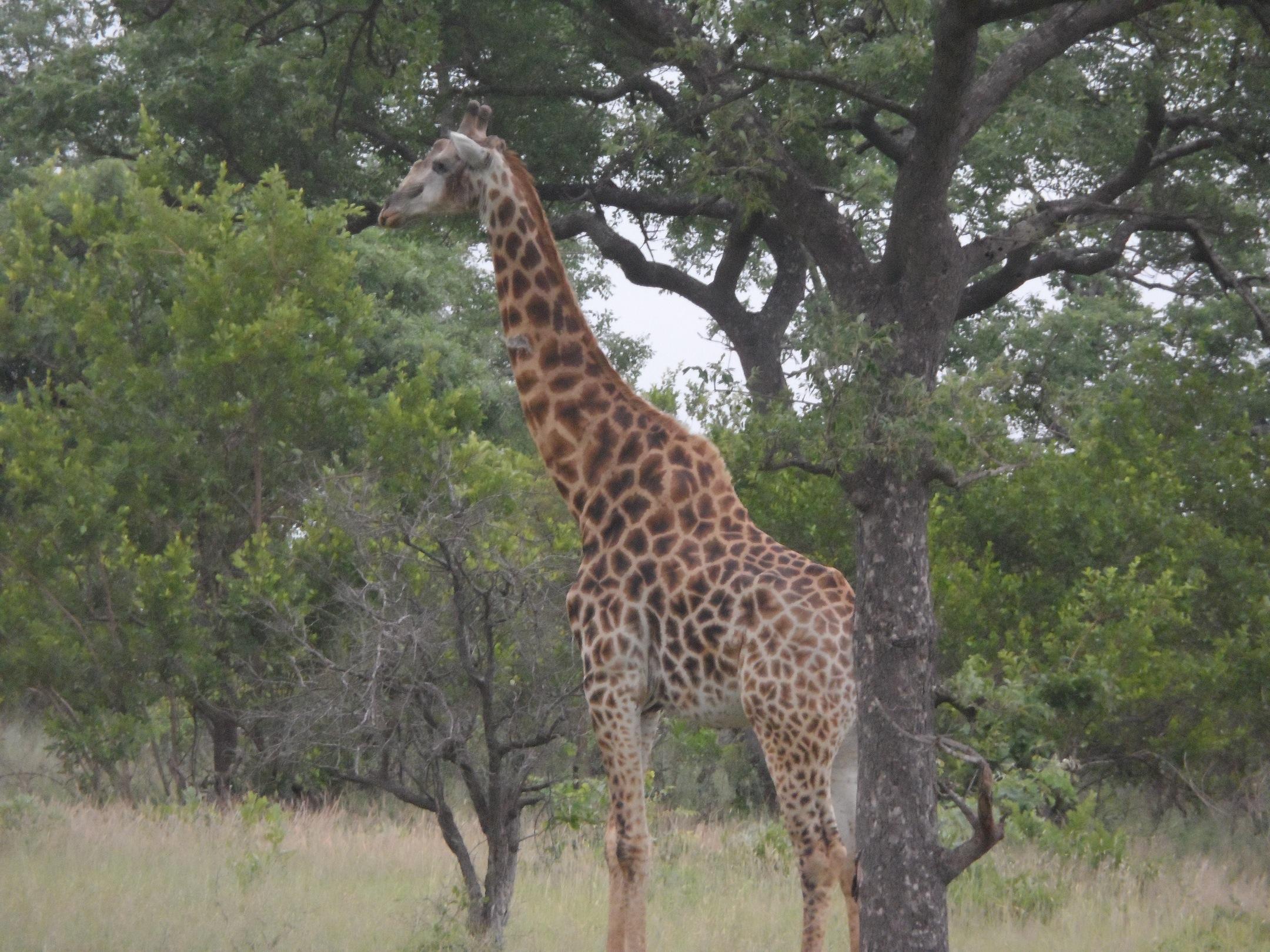 2013-01-29-Giraffebyhislonesome.JPG
