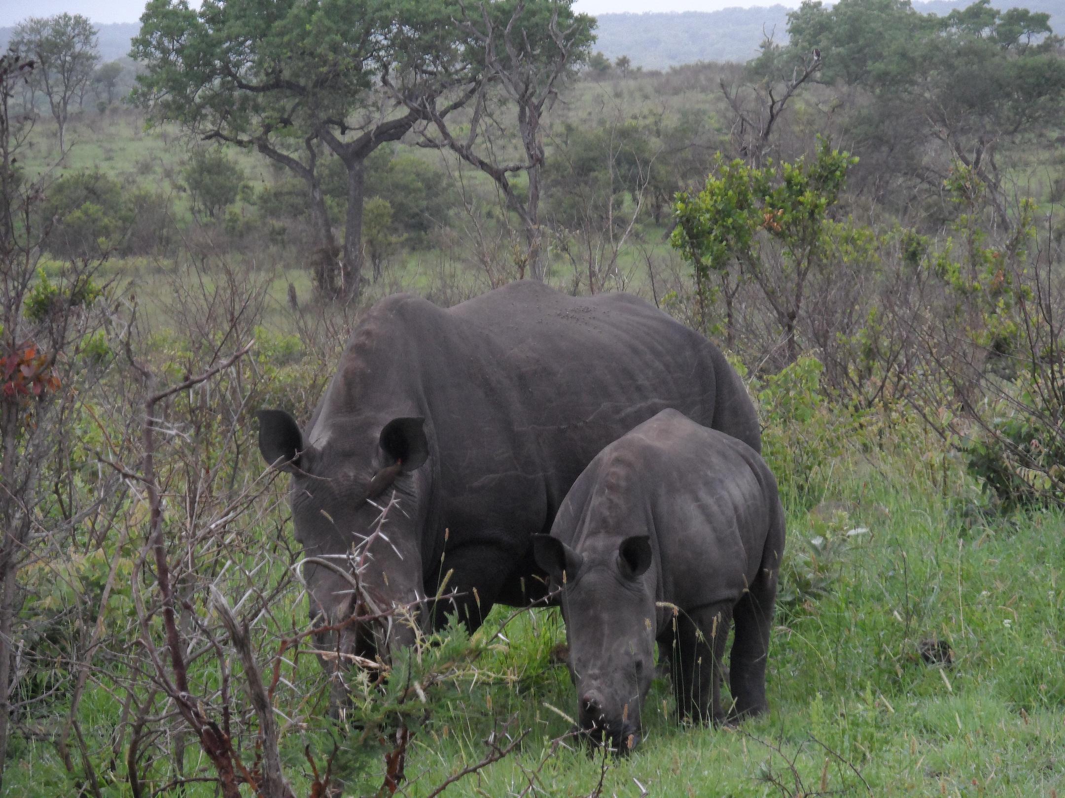 2013-01-29-MotherandSonRhinocerosjpg.jpg