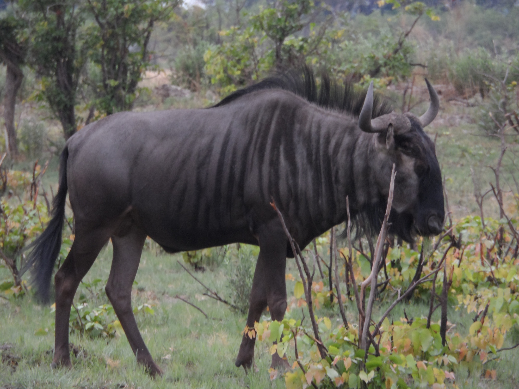 2013-01-29-wildebeastCOMP.jpg