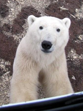 2013-02-01-PolarBearCompressed2.jpg