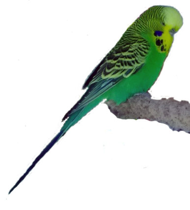 2013-02-08-RFgreenparakeet.jpg