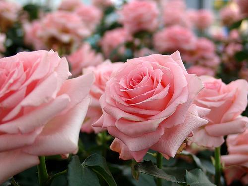 2013-02-13-roses2.jpg