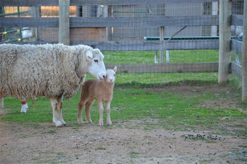 2013-02-14-sheep.jpg