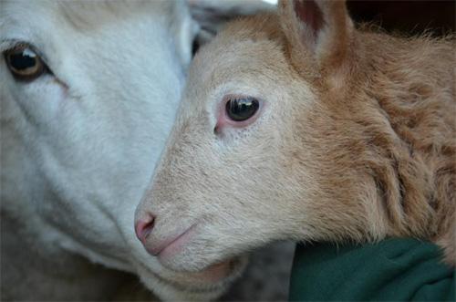 2013-02-14-sheep2.jpg