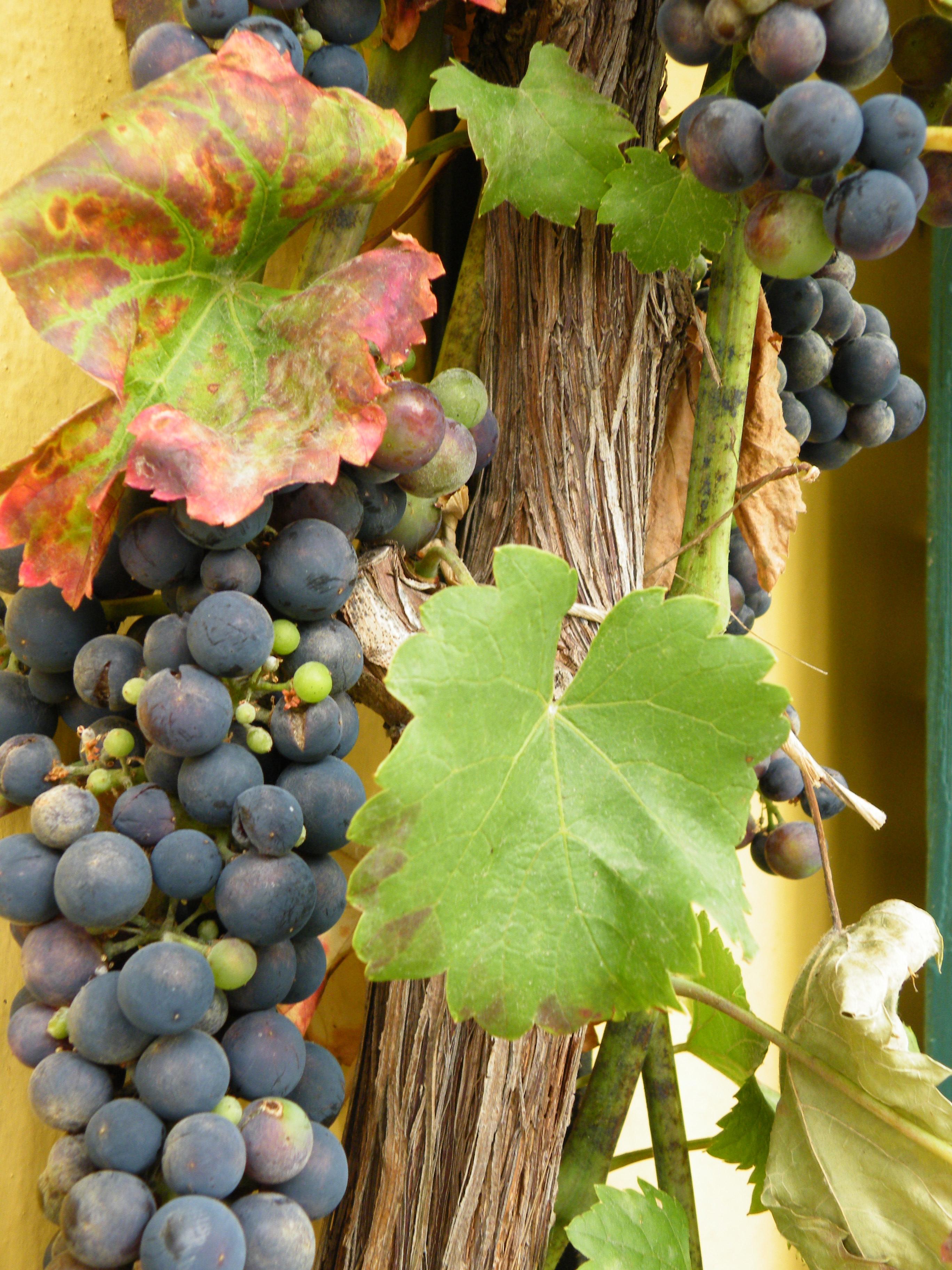 2013-02-21-Regent._hybrid_grape.jpg