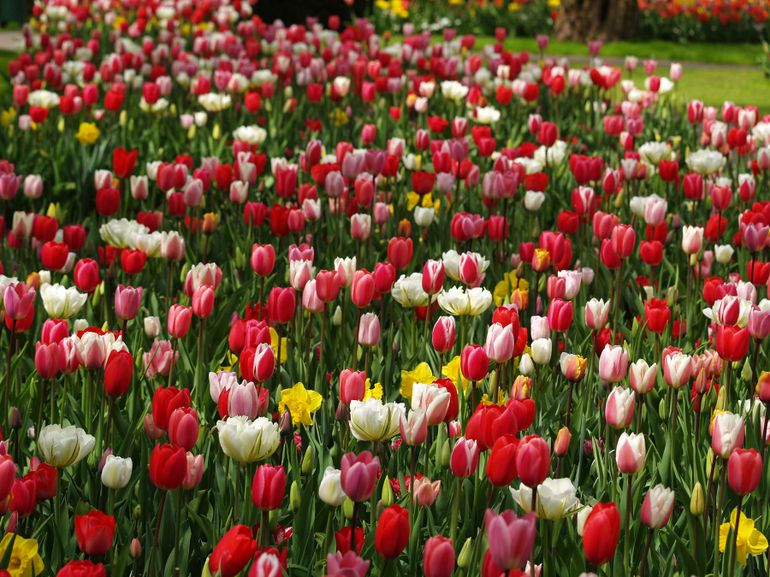 tulip season blooms in amsterdam 39 s keukenhof gardens On what season are tulips