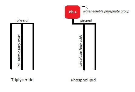 2013-03-18-TriglyceridePhospholipiddiagram.jpg