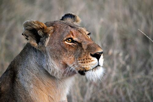 2013-03-23-lioness.jpg