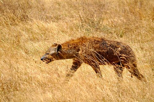 2013-03-24-hyena.jpg