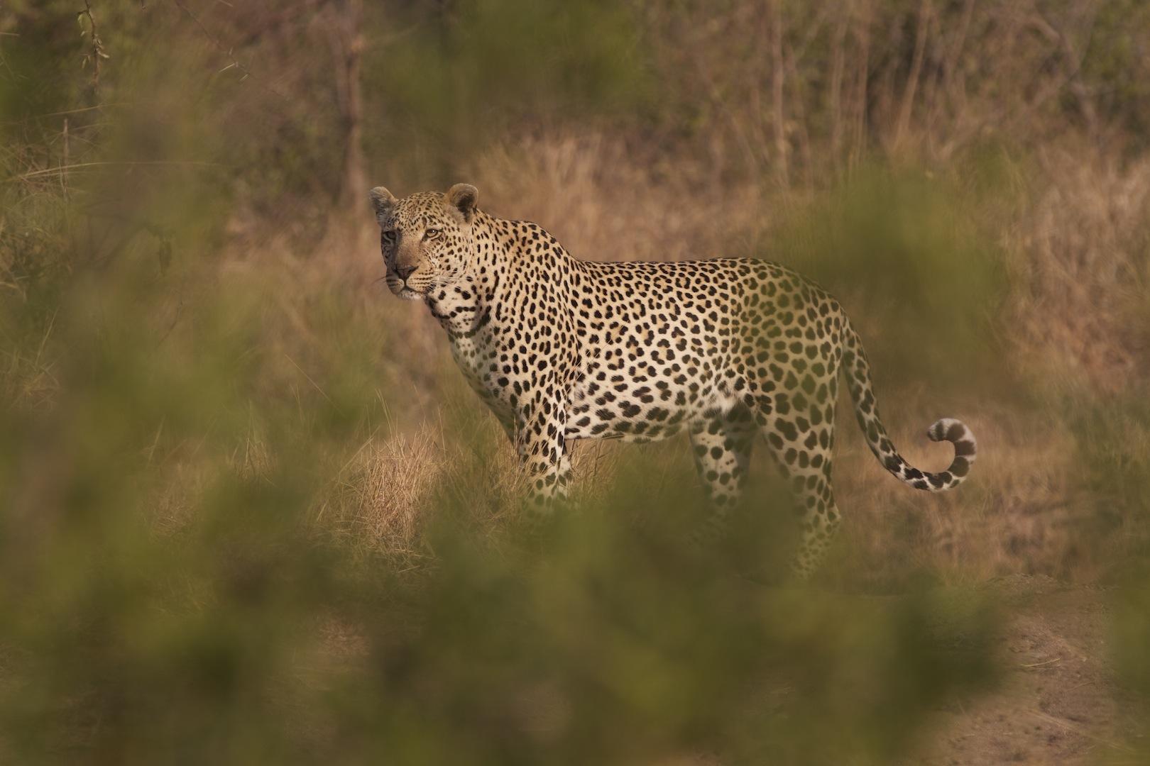 2013-03-25-Leopard_through_treescopyrightkayvanmashayekh2012.jpg