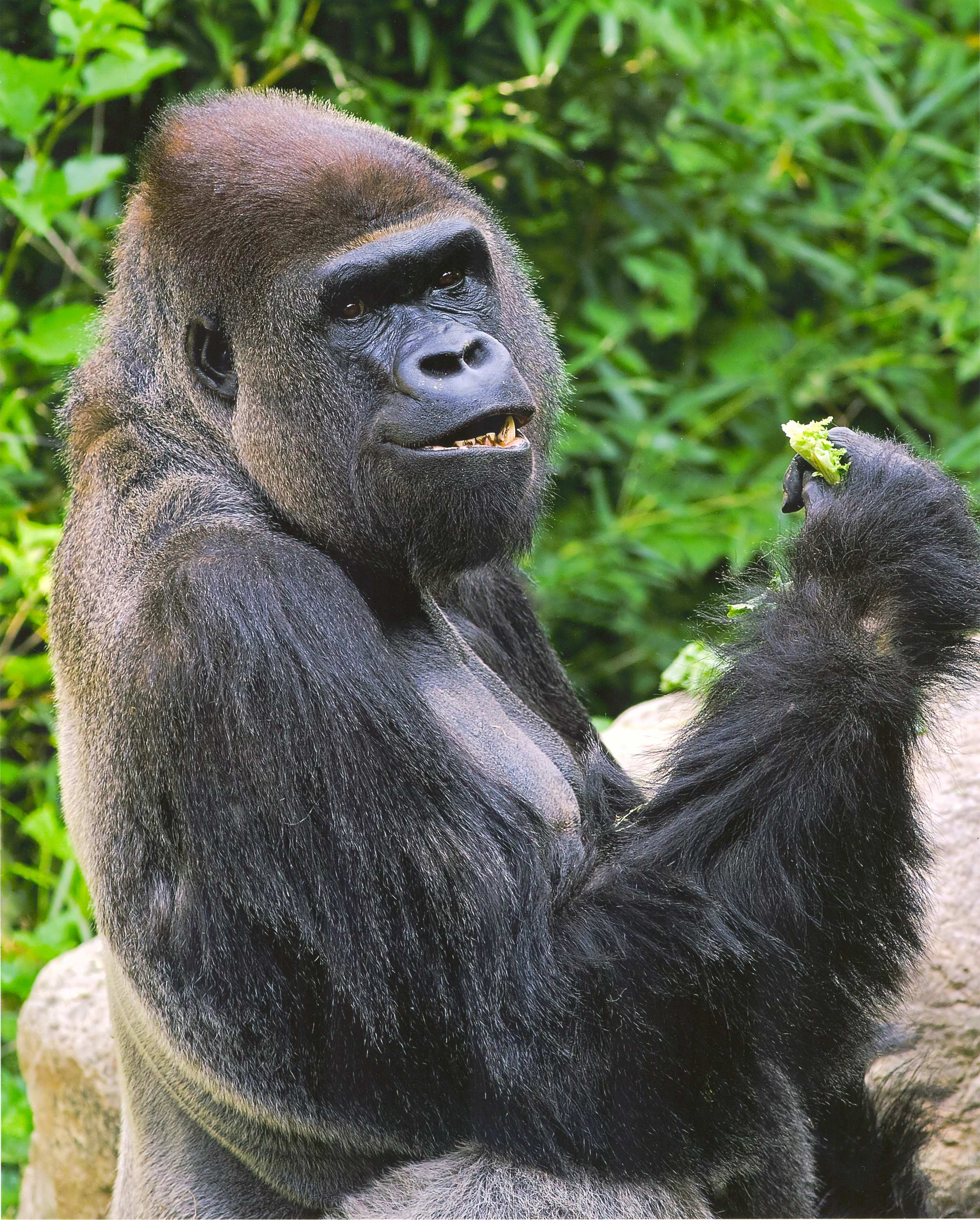 Why you should eat like a wild gorilla huffpost 2013 03 27 bebaceatinggreenstwog forumfinder Image collections