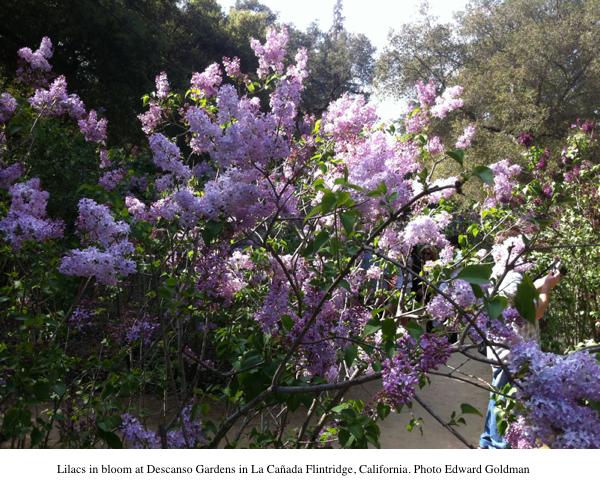 2013-04-03-HP_1_DescanoGardens_Lilacs.jpg