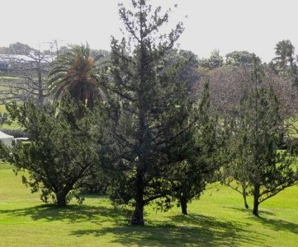2013-04-09-Cedartrees1.jpg