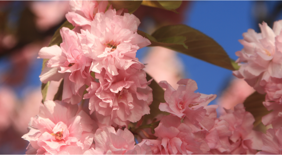 2013-04-10-Cherry_Blossom_Festival_2013_C.png