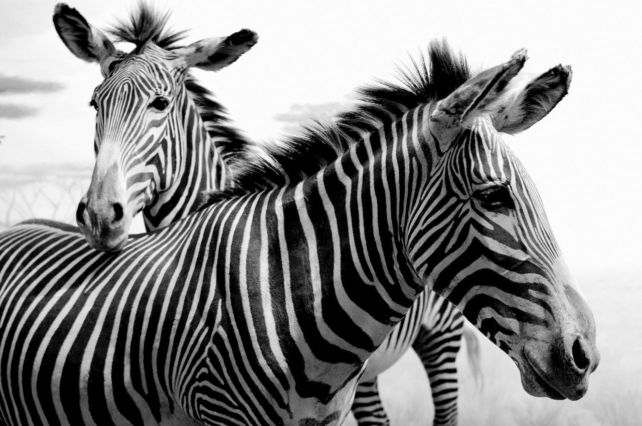 2013-04-24-zebra.jpg