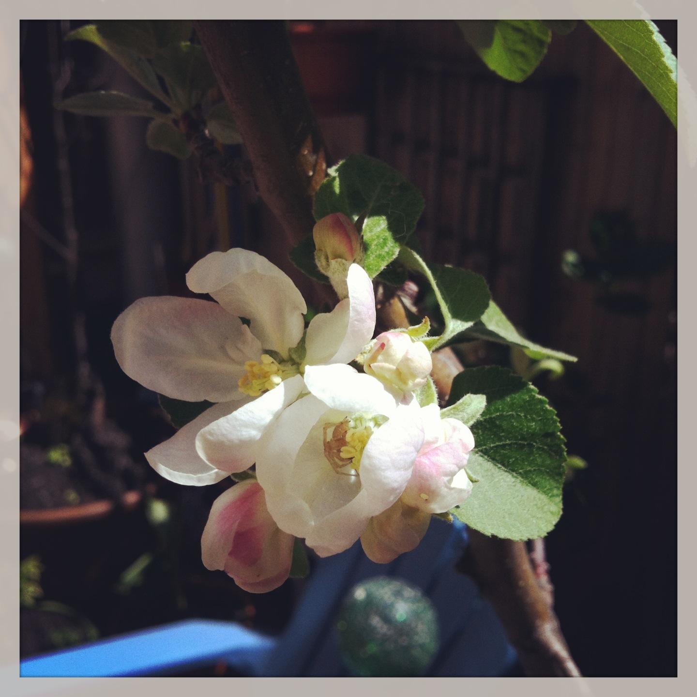 2013-04-30-appleblossom.JPG