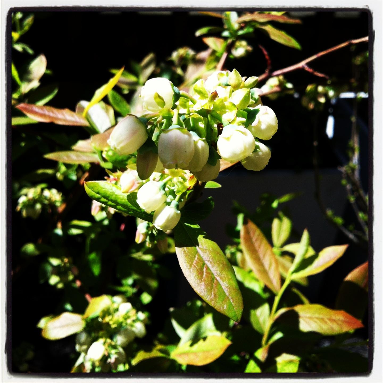 2013-04-30-blueberryblossoms.JPG