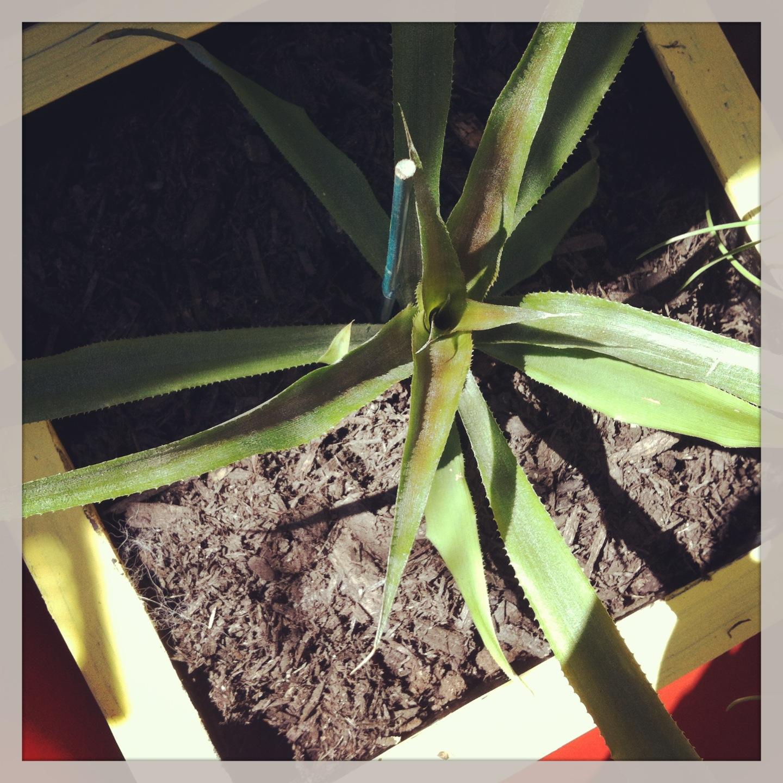 2013-04-30-pineapple.JPG
