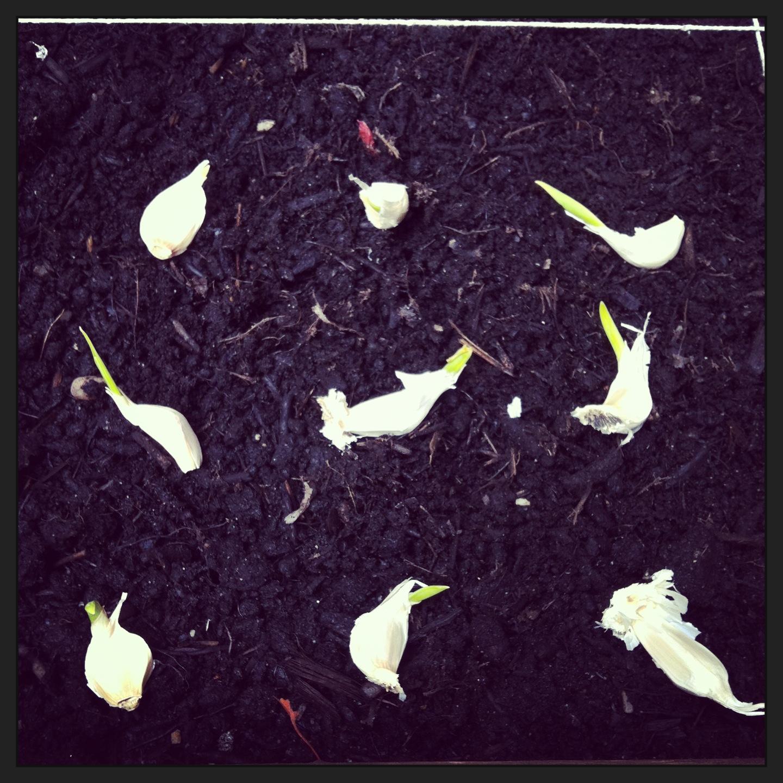 2013-04-30-plantinggarlic.JPG