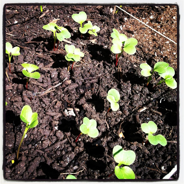 2013-04-30-radishsprouts.JPG