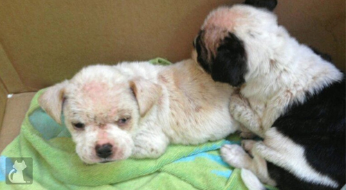 puppies with deadly case of mange saved by good samaritan huffpost